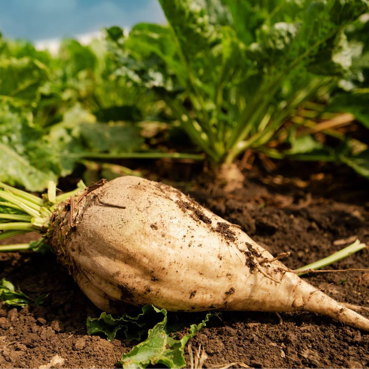 10-Foods-that-lower-blood-pressure-Sugar beet