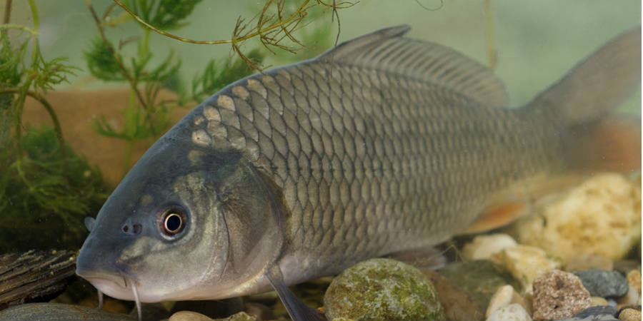 Best-foods-to-treat-gout-river-fish