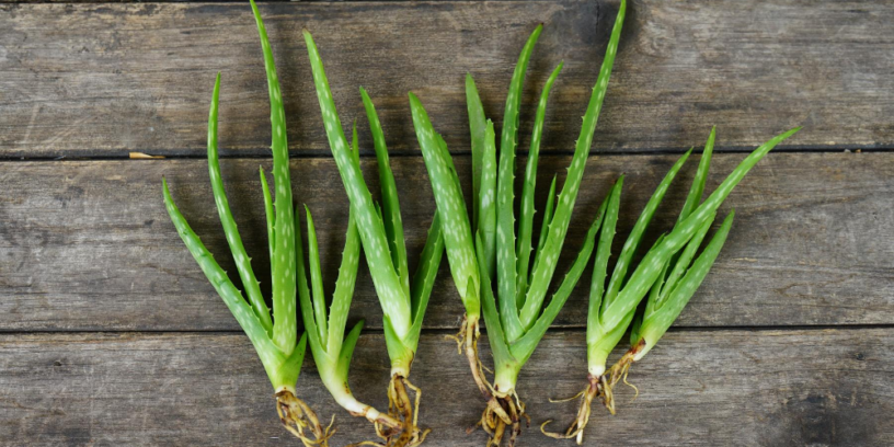 4-health-benefits-of-aloe-vera-|-The-plant-for-beauty-and-refreshment