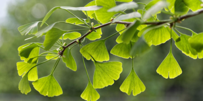 5-Ginkgo-benefits-|-Herbal-brain-tonic-from-thousands-of-years