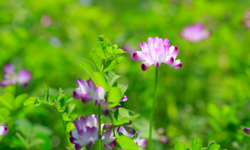"""Top-4-Astragalus-health-benefits-The-""""Twin-brothers""""-of-ginseng"""