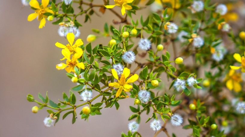 Top-4-chaparral-health-benefits-and-important-notes-when-you-want-to-use