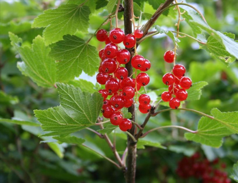 Top-4-Sarsaparilla-health-benefits-|-Herbal-treatment-of-osteoarthritis-with-a-unique-taste