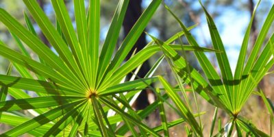 Top-5-Saw-Palmetto-health-benefits-|-Precious-herbs-treat-BPH,-baldness