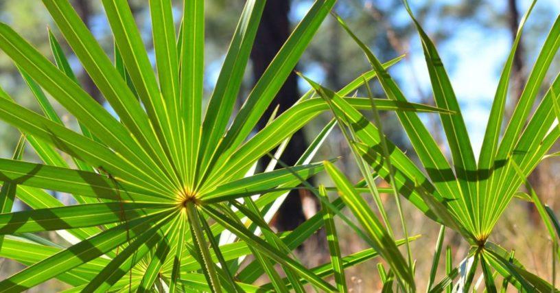 Top-5-Saw-Palmetto-health-benefits-|-Precious-herbs-treat-BPH,-baldness