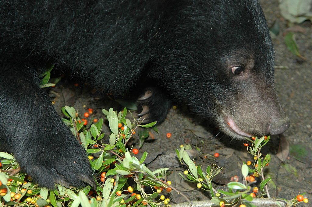 bearberry 1