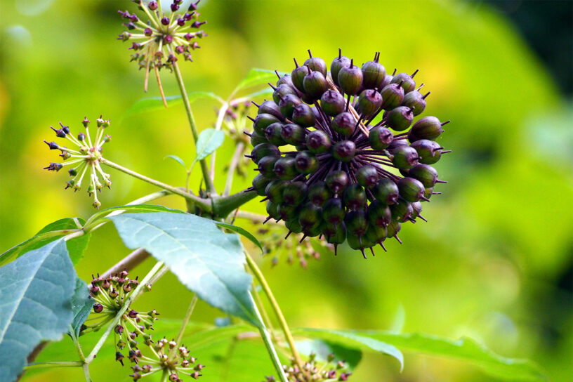 Top-5-Eleuthero-health-benefits-|-The-herb-with-precious-effects-like-ginseng