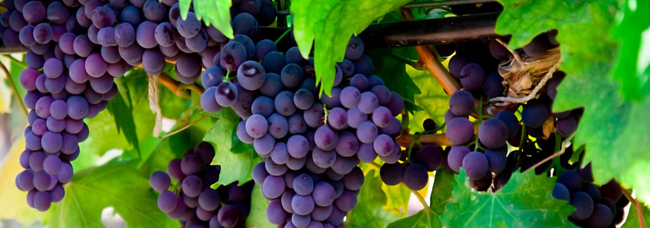 Foods-to-reverse-fatty-liver:-Grapes