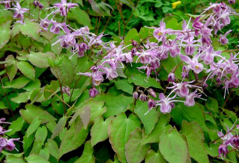 Top-4-horny-goat-weed-benefits-|-Herb-helps-to-enhance-men's-health
