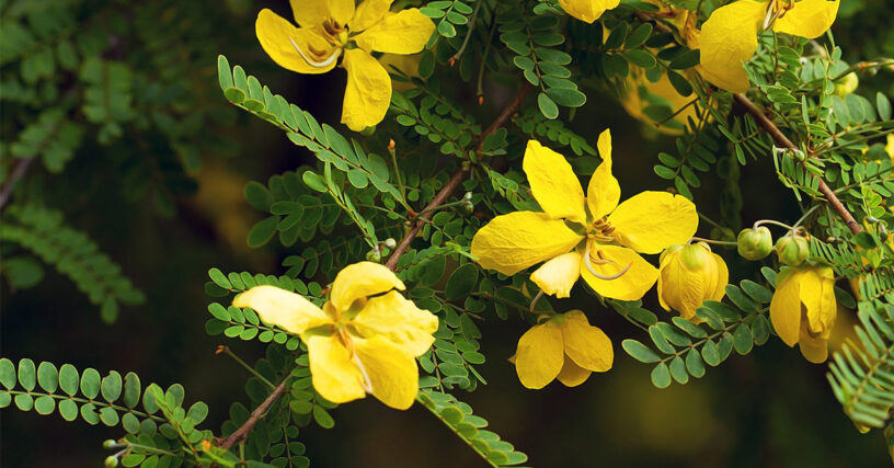 Senna-health-benefits-|-Herbal-laxative-solution
