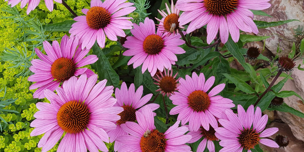 Top-5-health-benefits-of-Echinacea- -Precious-herb-helps-strengthen-the-immune-system