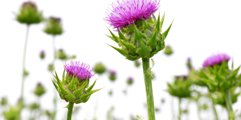 Top-5-Milk-Thistle-benefits