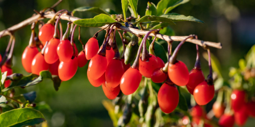 Top-5-goji-berries-health-benefits-|-Precious-herbal-for-thousands-of-years