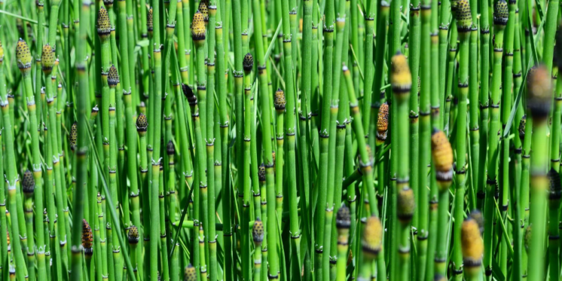 Top-horsetail-benefits-|-Miraculous-beauty-secrets-from-nature