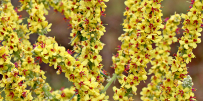 Top-3-health-benefits-of-mullein-|-Herb-fight-infections-and-inflammation