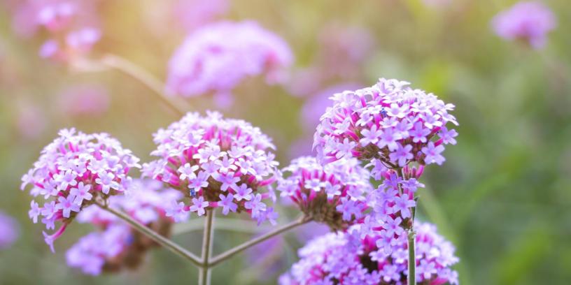 Verbena-health-benefits-|-Anti-inflammatory,-anti-infection,-and-more