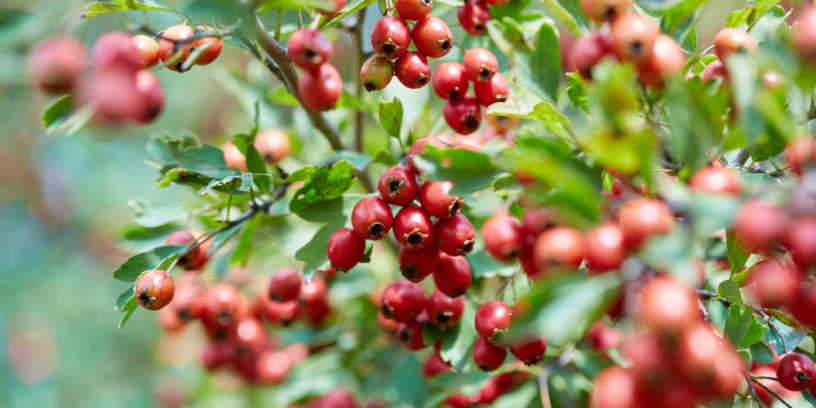 Top-hawthorn-health-benefits-|-A-tonic-to-treat-cardiovascular-diseases
