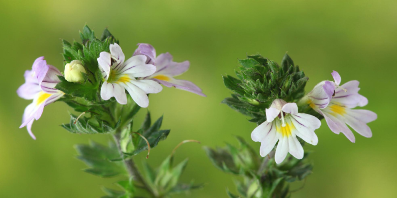 Eyebright-health-benefits-|-Natural-remedy-for-eye-problems