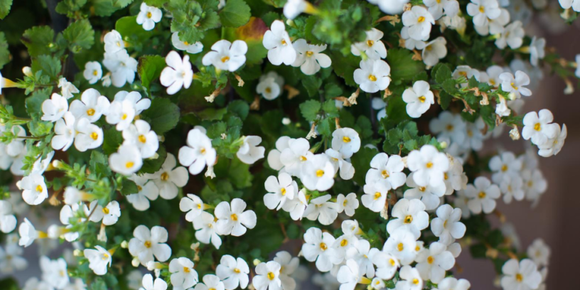 Top-4-Bacopa-health-benefits-|-The-herb-with-effects-on-the-brain