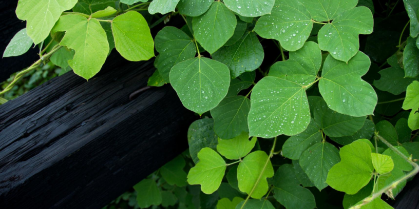Top-3-Kudzu-health-benefits-|-The-herb-reduce-the-harmful-effects-of-alcohol