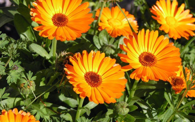 Top-calendula-flower-benefits