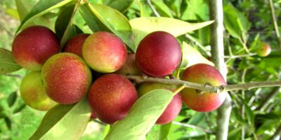 Top-Camu-Camu-benefits-|-The-herb-called-a-superfood