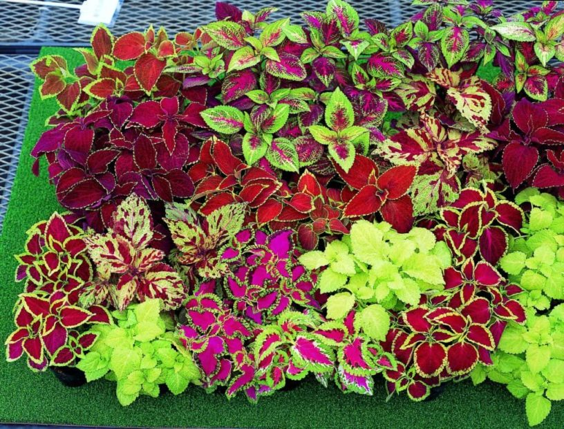 Top-4-coleus-health-benefits-|-Herbal-contains-essential-oils-for-coughing
