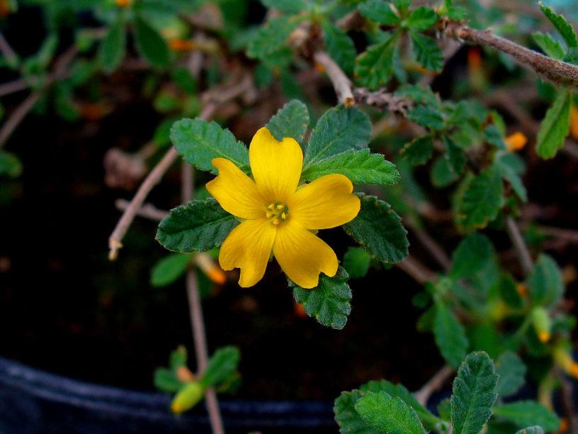 Top-2-Damiana-health-benefits- -Revealing-herbs-good-for-men