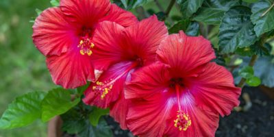 Top-5-hibiscus-flower-benefits-|-The-herb-for-the-girl-who-loves-tea