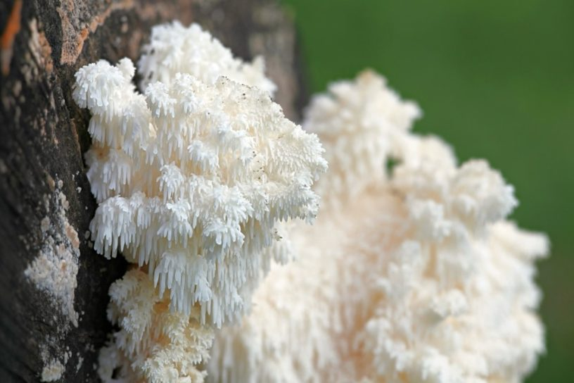 Top-4-lions-mane-mushrooms-health-benefits- -Precious-mushroom-for-a-healthy-brain