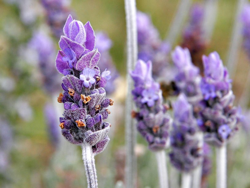Single lavendar flower02