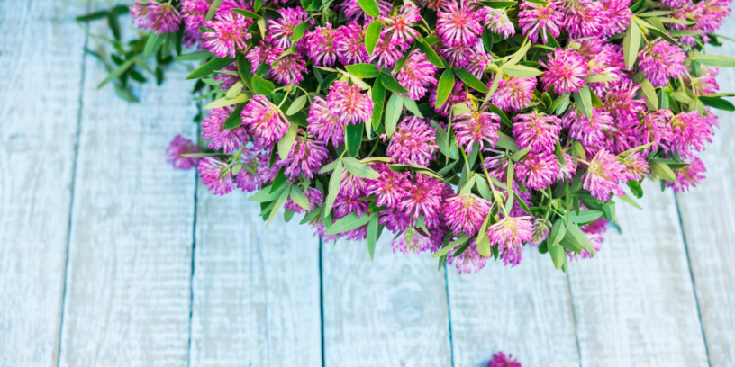 Top Red-Clover-benefits-|-The-herb-reduces-menopausal-symptoms
