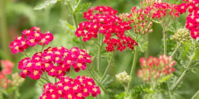 Top-5-Yarrow-health-benefits
