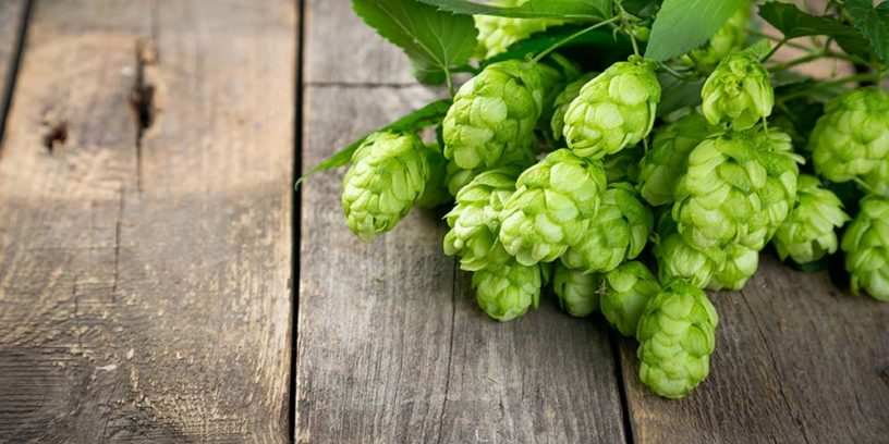 Top-4-Hops-benefits-|-The-flower-gives-German-beer-flavor-and-more