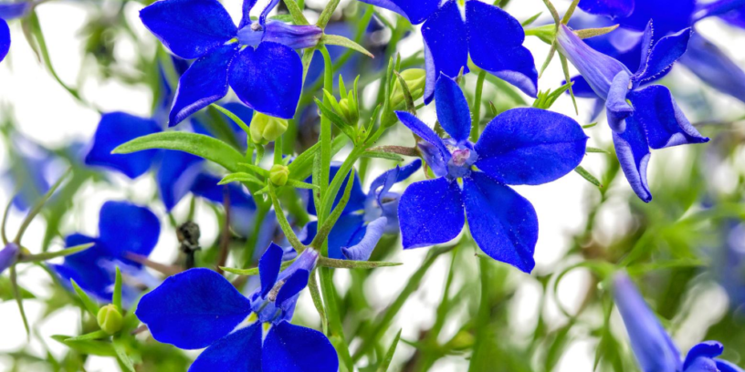 Top-4-lobelia-health-benefits-|-The-herb-can-help-you-quit-smoking