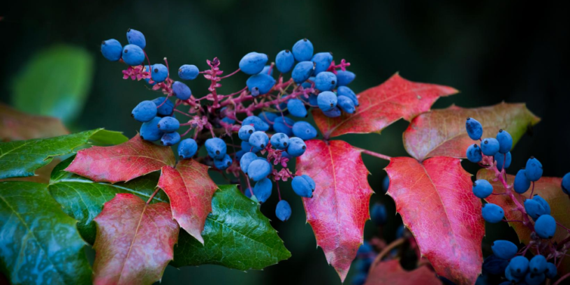 Top-4-Oregon-Grape-health-benefits-|-The-herb-that-makes-you-get-rid-of-psoriasis