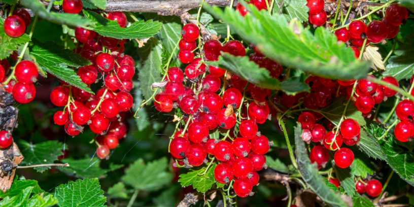 Top-5-Schisandra-health-benefits-|-The-conditioning-remedy-in-Chinese-medicine