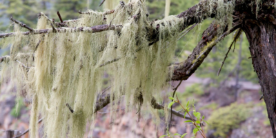 Top-Usnea-benefits